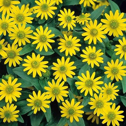 Creeping Zinnia Sanvitalia procumbens 570 seeds