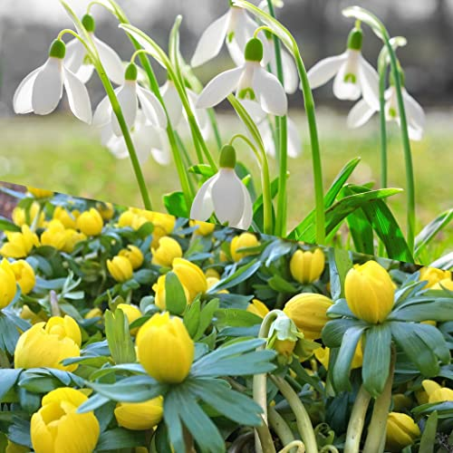 FREE UK P/&P Woodland bulbs/® 25 x English Woodland Aconite Bulbs /'Eranthis Hyemalis Spring Flowering Bulbs Ready To Plant With Snowdrops