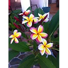Ubuy Kuwait Online Shopping For plumeria seeds in Affordable